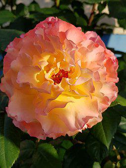Rose, Blossom, Bloom, Romantic, Pink, Yellow, Beauty