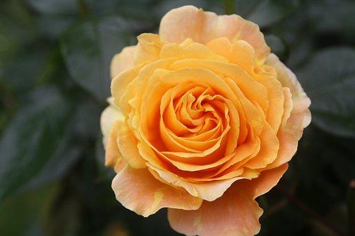Rose, Blossom, Bloom, Orange, Beauty, Romantic, Flower