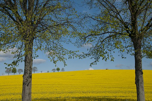 Oilseed Rape, Spring, Yellow, Agriculture