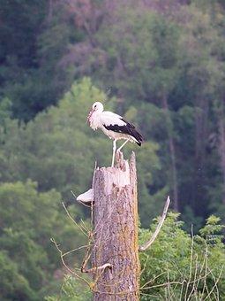 Storks, Nature, Rattle Stork, Animal World