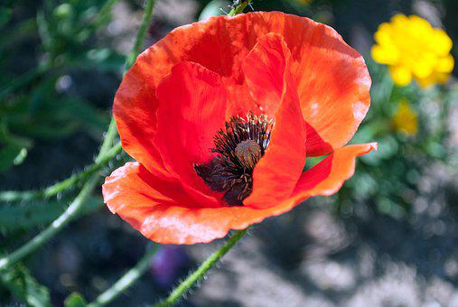 Poppy, Flower, Red, Summer, Flowers