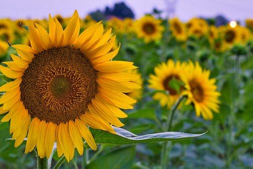 Sunflowers, Flowers, Summer, Sunflower, Flower, Nature