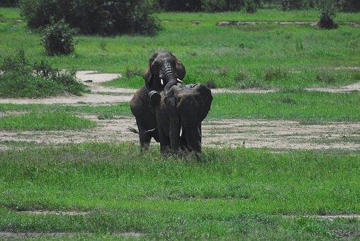 Elephants, Mating, Africa, Tanzania, Safari, Wildlife