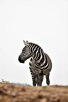 Zoo, Emmen, Mammal, Africa, Netherlands, Zebra, Animal