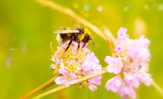 Bumblebee Gas, Tom, Insect, Apiformes, Flower, Animals