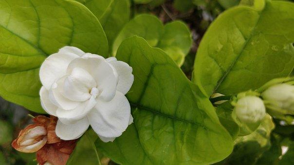 Jasmine, White Flower, Mogra, Arabian Jasmine, Motiya