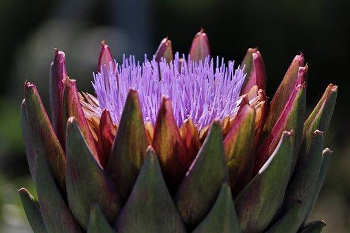 Garden, Plant, Flower, Blossom, Bloom, Artichoke