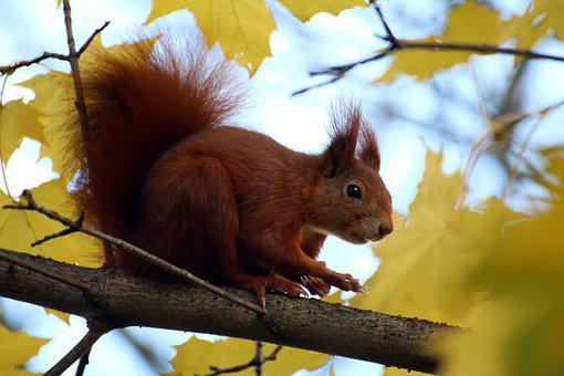 Squirrel, Ears, Leaves, Autumn