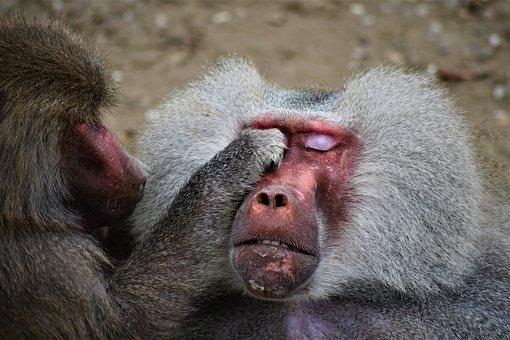 Baboon, Zoo, Monkey, Animal, Nature, Animal World