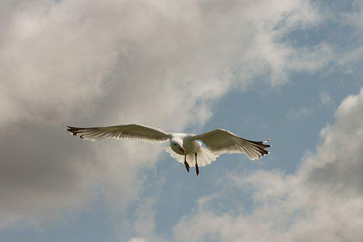 Seagull, Flight, Seevogel, Bird, In Flight, Sky, Flying