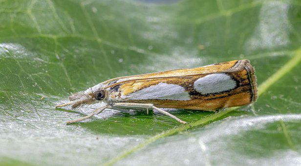 Pearl Grass-veneer, Moth, Micro, Close, Nature, Pattern