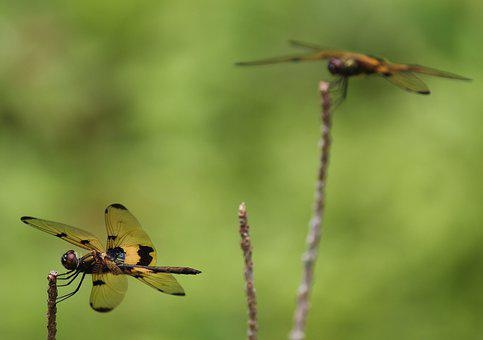 Dragon Fly, Yellow Dragon Fly, Onam Dragon Fly