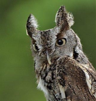 Owl, Raptor, Falconry, Feathers, Predator, Nature, Bird