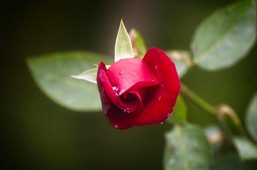 Rosa, Plant, Flower, Garden, Flora, Love Story, Petals