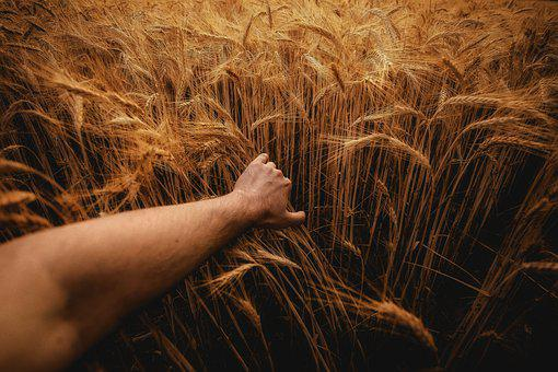 Barley, Rye, Agriculture, Collections, Grains, Nature