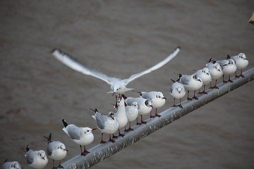 Gulls, Flag Pole, Series, Flight, Dispute, Seat