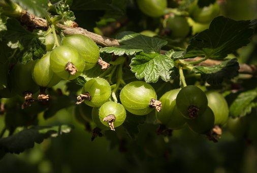 Gooseberry, Growth, Immature, Hidden, Berries, Garden