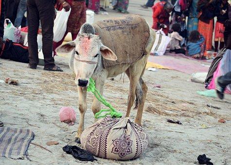 Hinduism, Sacred, Cow, India, Spiritual, Religion