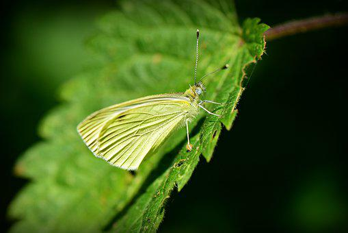Cabbage White, Butterfly, Insect, Animal, Wing, Pattern