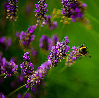 Bumblebee, Flowers, Nature, Spring, Insect, Flower
