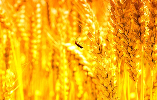 Cereals, Beetle, Insect, Nature, Grain, Summer
