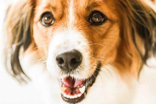 Kooiker, Kooikerhondje, Pet, Dutch, Attention, Dog