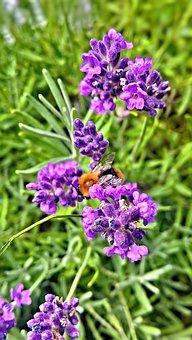 Plant, Lavender, Lavender Flowers, Medicinal Plant