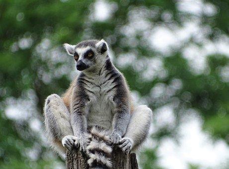 Lemurs, Lemur, Ape, Zoo, Augsburg