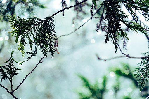 Forest, Branch, Conifer, Green, Leaves, Plant, Light