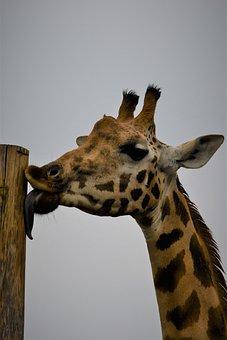 Giraffe, Zoo, Emmen, Animal World, Africa, Mammal