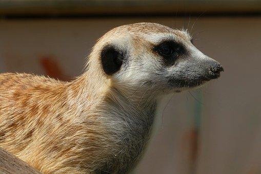 Meerkat, Animal Park, Faunapark, Lookout, Observation