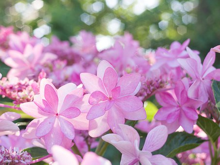 Landscape, Natural, Plant, Flowers, Hydrangea, Japan