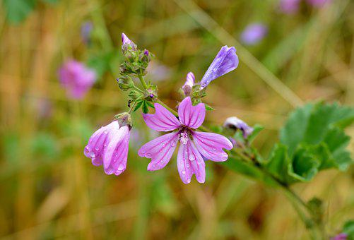 Bolderik, Flower, Toxic, Nature, Pink, Flora, Summer