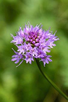 Traunsteinera Globosa, Kugelorchis, Orchid, Blossom