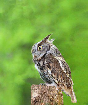 Screech Owl, Owl, Raptor, Bird, Feathers, Nature
