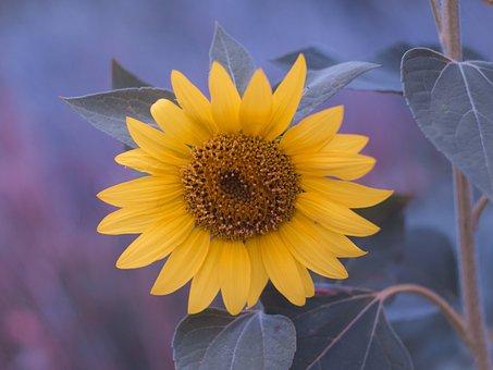 Sunflower, Summer, Flower, Flora, Yellow, Field, Petals