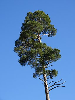 Forest Pine, Tree, Pine, Conifer