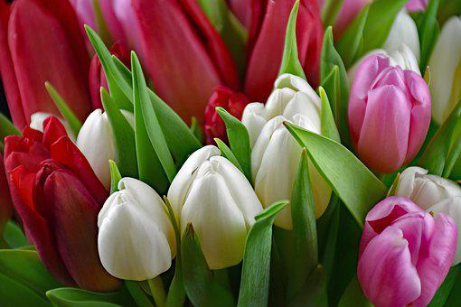 Tulips, Bouquet, Flowers, Spring, Plant, Pink, Nature