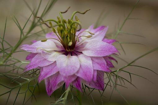 Flower, Nigella Damascena, Purple, Pink, Love-in-a-mist