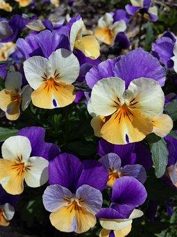 Flowers, Spring, Plant, Bloom, Purple, Blossom
