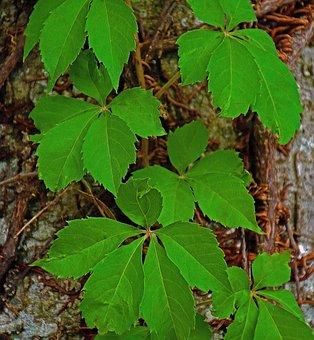 Vine, Tree, Pattern, Leaves, Plant, Nature, Texture
