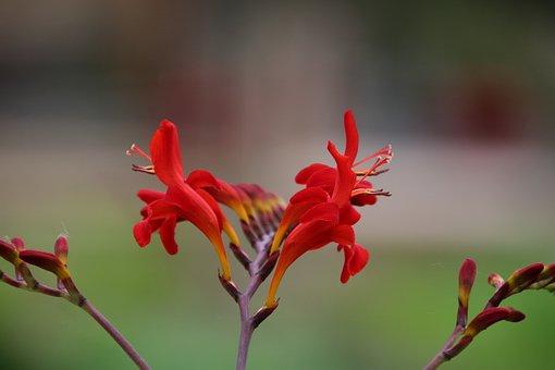 Flowers, Red, Scarlet, Plants, Beauty, Garden, Nature