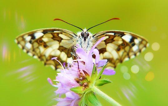 Polowiec Chess Board, Butterfly Day, Flower, Bokeh