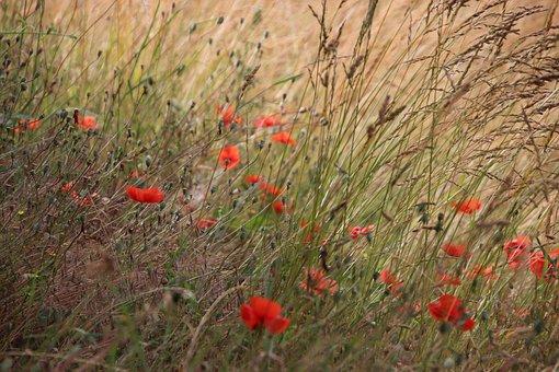 Poppies, Flowers, Red, Prairie, Poppy, Spring, Plants