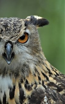 Owl, Great Horned Owl, Hoot Owl, Raptor, Bird, Predator