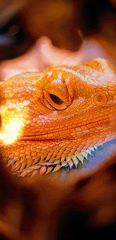 Reptile, Bearded Dragon, Animal