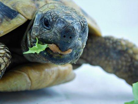 Turtle, Greek Tortoise, Lizard, Reptile, Tortoise Shell