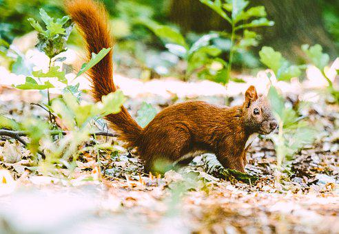 Squirrel, Wild Animal, Rodent, Nager, Furry, Attention