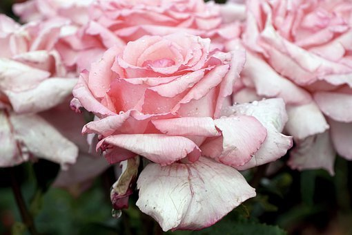 Roses, Pink, Romantic, Rose Bloom, Petals, Bloom