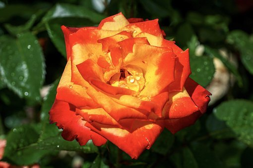 Rose, Scented Rose, Beauty, Blossom, Bloom, Red, Yellow